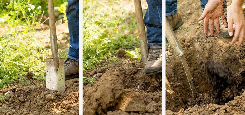 How to plant a fruit bush steps