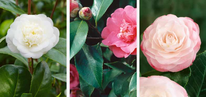 February plant of the month - Camellia