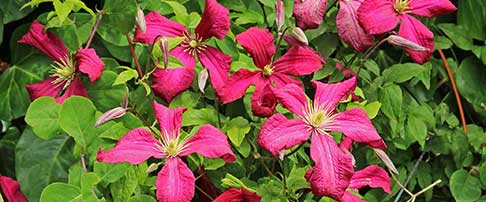 June plant of the month - Clematis