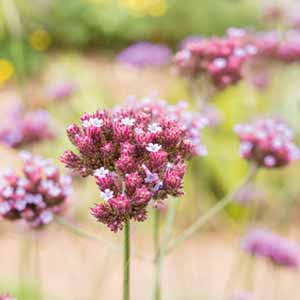How to plant herbaceous perennials