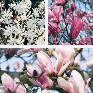 Magnolia plant festival