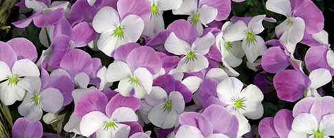 Plant of the month March - Pansies & violas