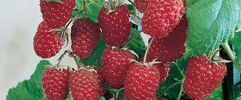 How to plant a fruit bush