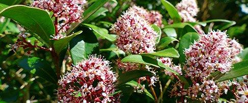 Plant of the moment November - Skimmia