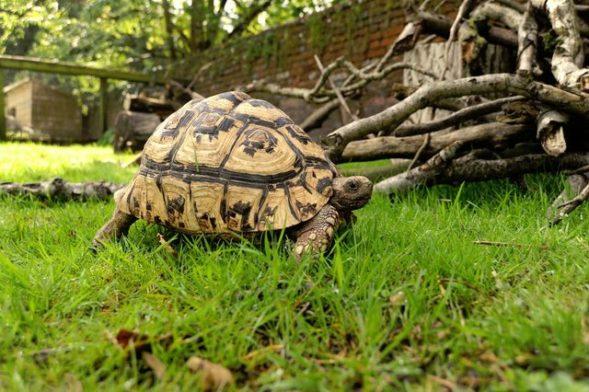 Tortoise Hibernation