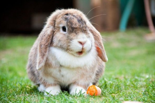 Healthy Diet for Rabbits