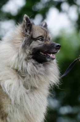 Keeshond Dog Breed Guide