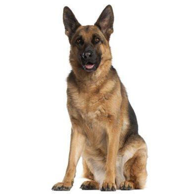 German Shepherd Dog Breed Guide