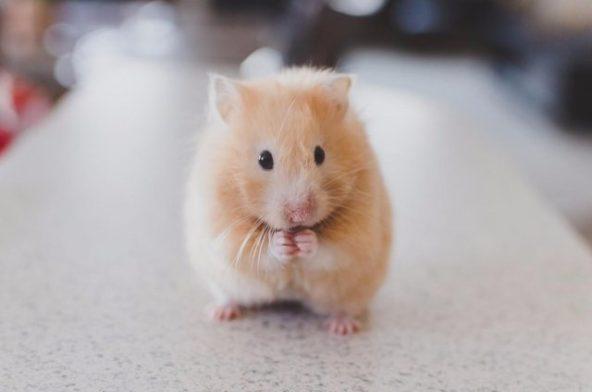 Hamster Care Basics: Dos and Don'ts