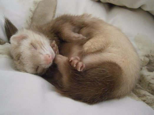 Ferret Care: Basic Dos and Don'ts