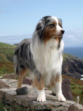 Australian Shepherd Dog Breed Guide