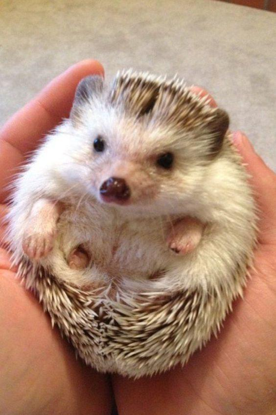 African Pygmy Hedgehog Care