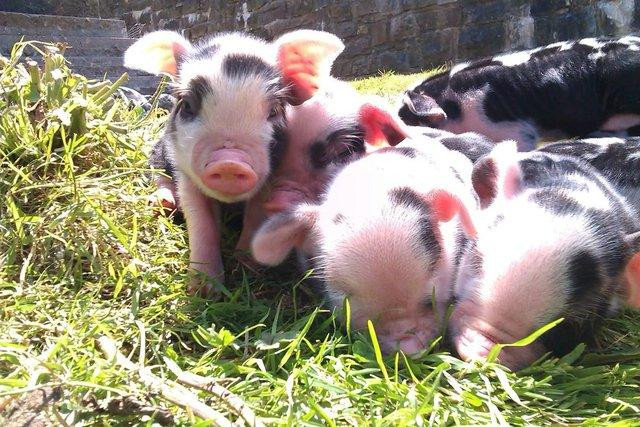 Micro Pigs – A Beginner's Guide