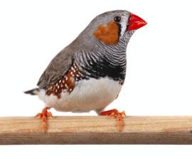 Zebra Finch and Canary Care