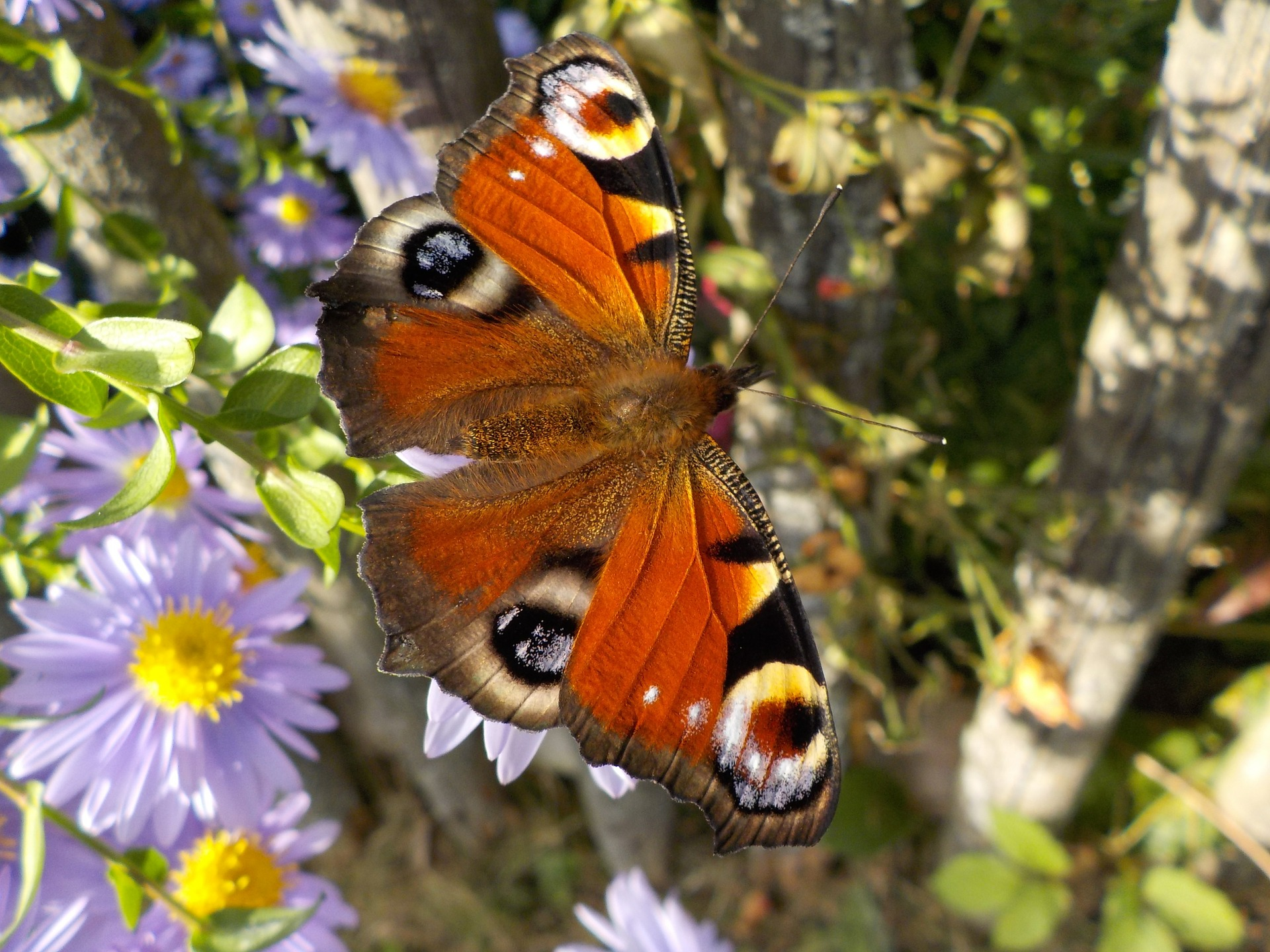 peacock-butterfly-484423_1920