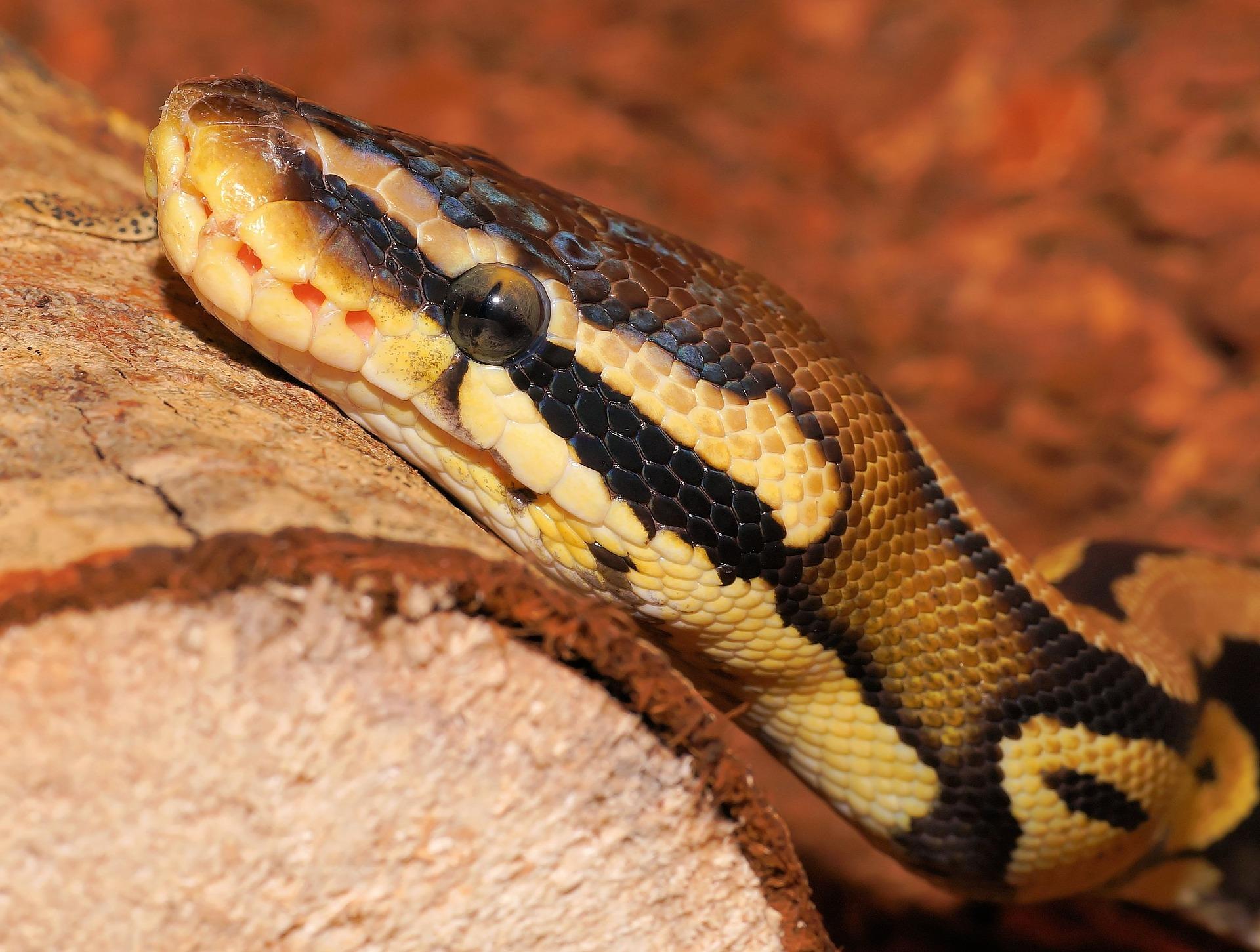 ball python2