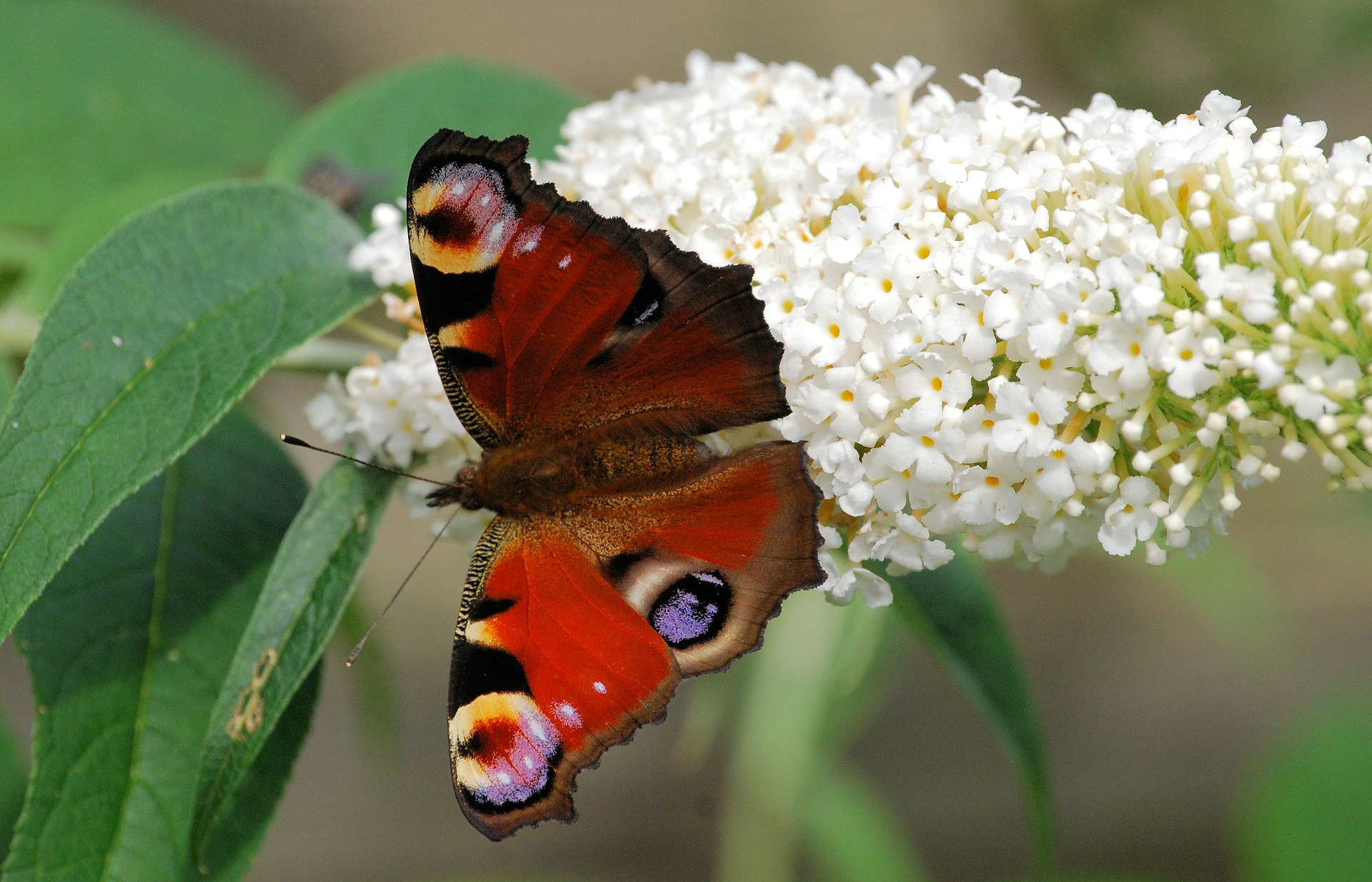 peacock-butterfly-345898_1920