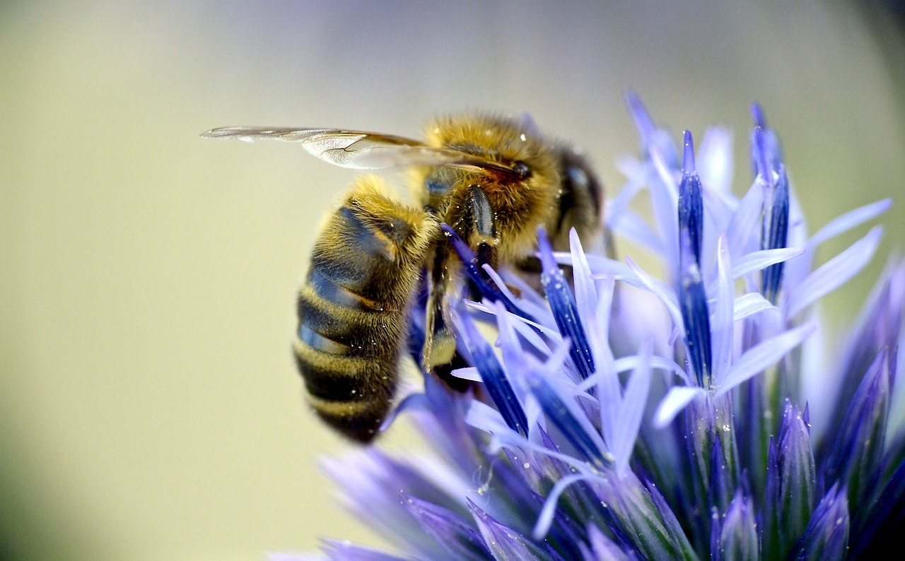 european-honeybee-948800_1280
