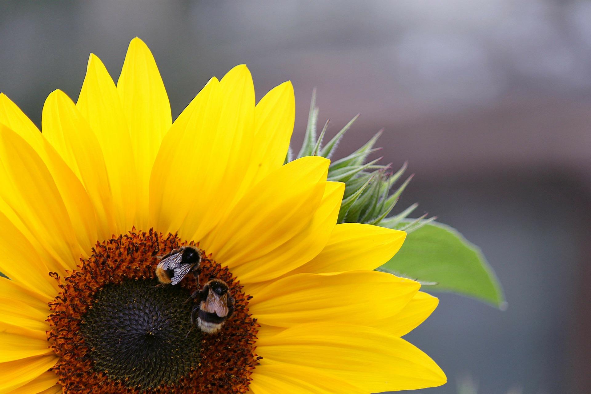 sun-flower-276869_1920