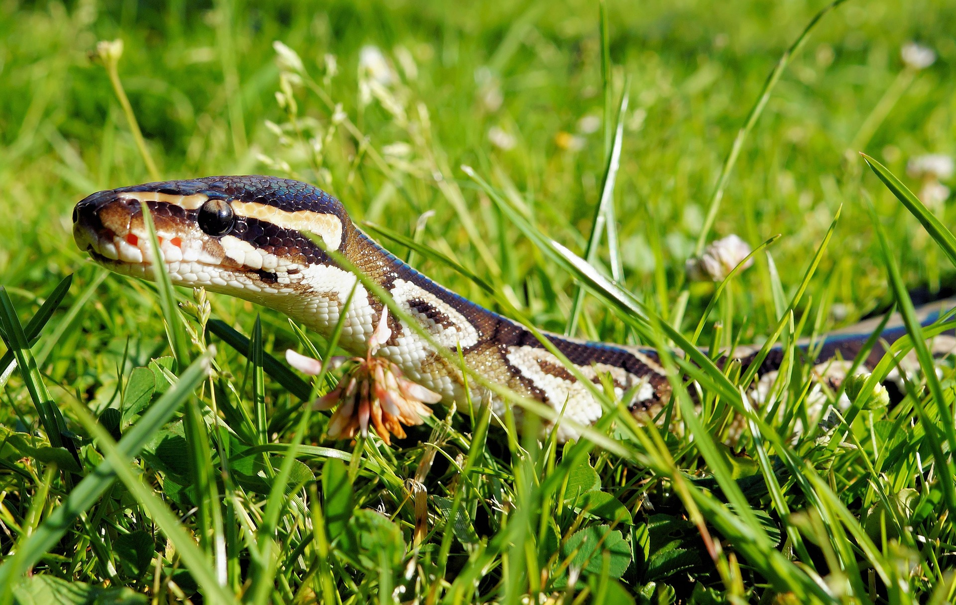 ball python