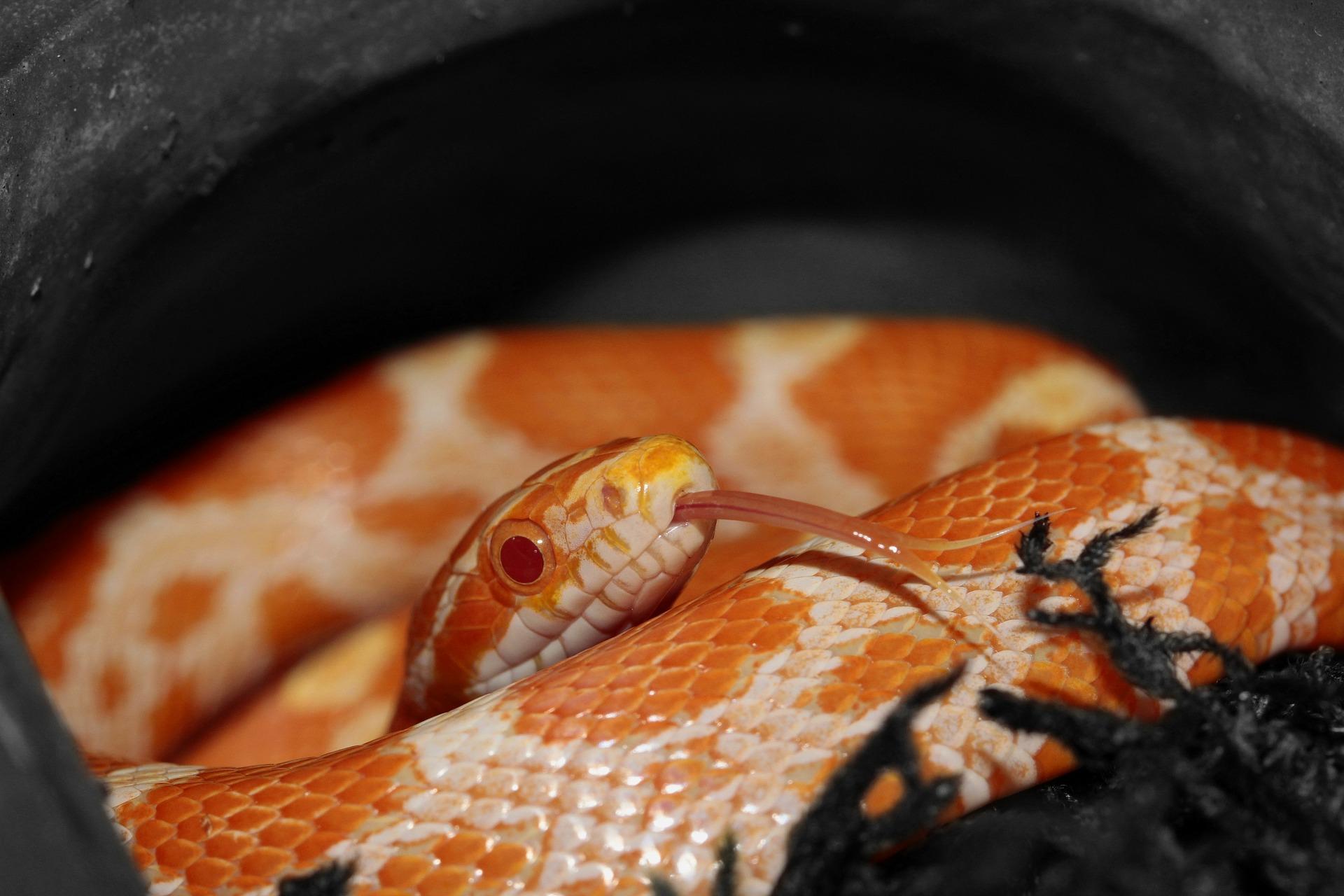 corn-snake-414802_1920