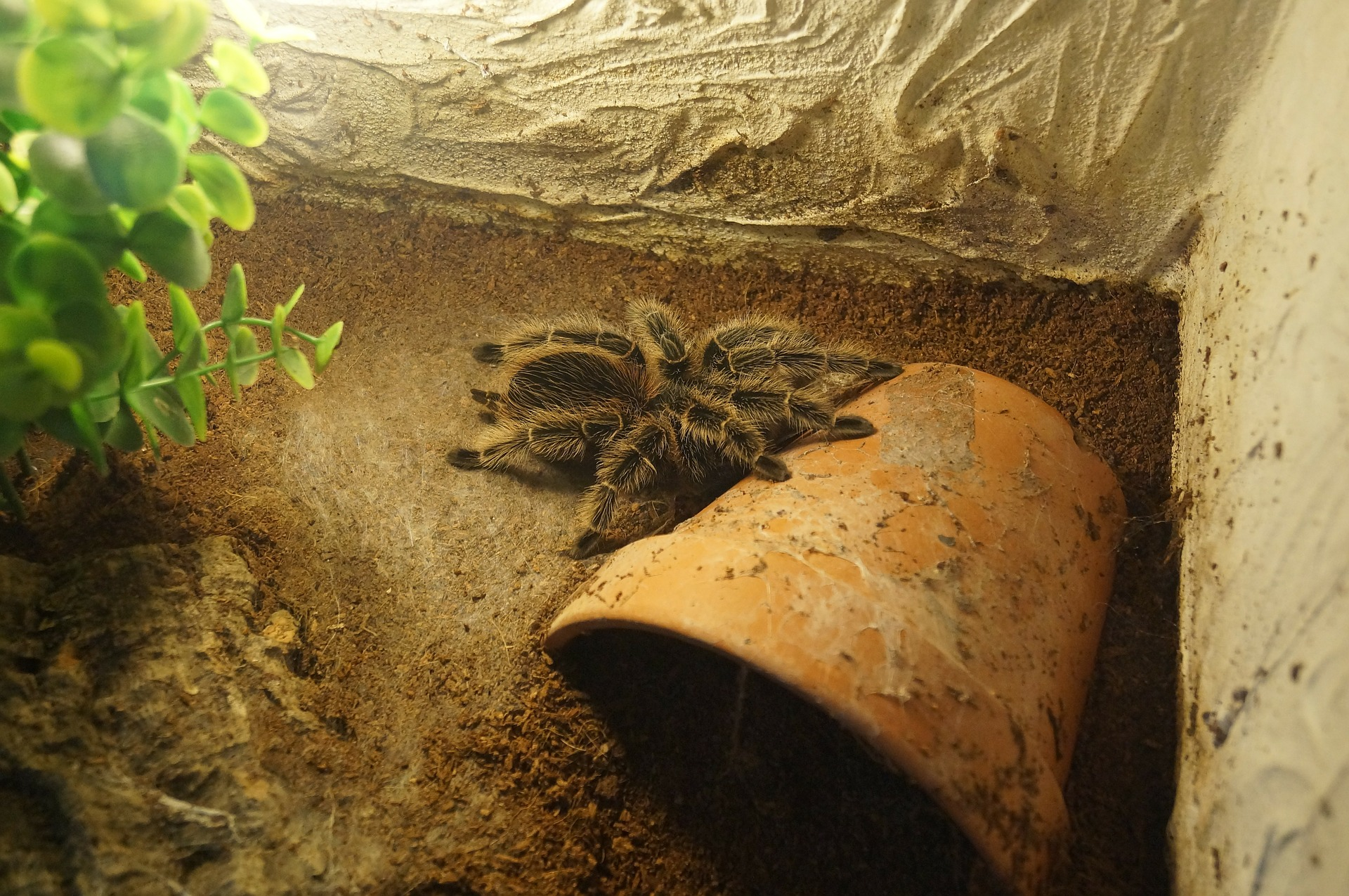 tarantula-336281_1920
