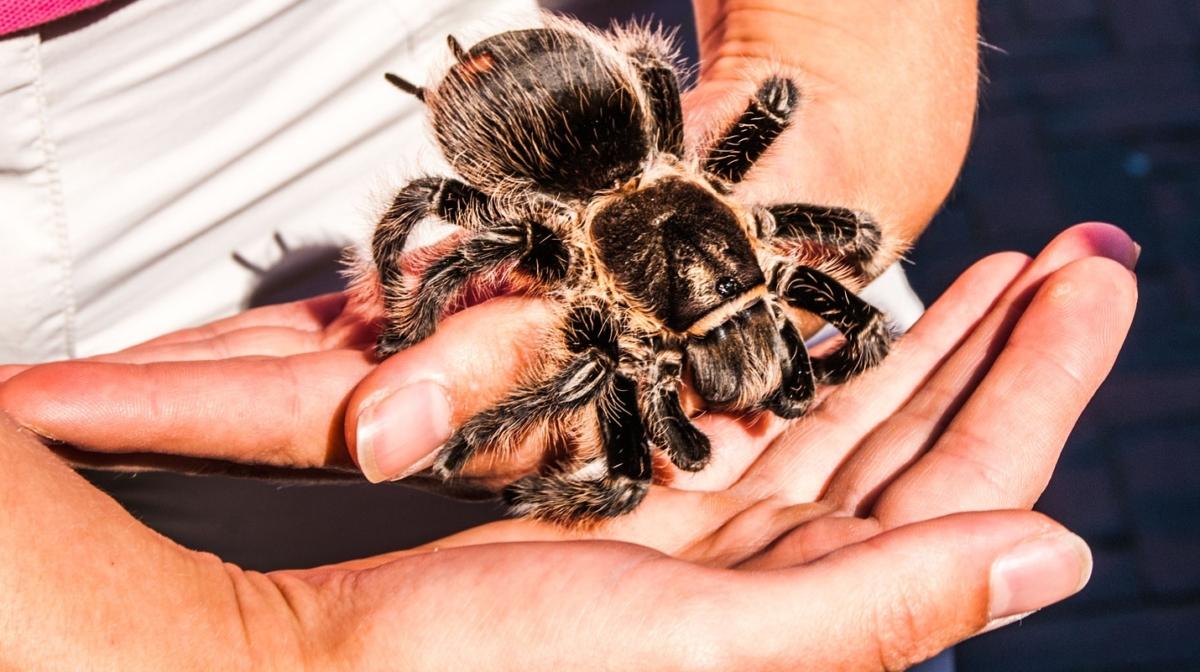 The Beginners Guide to Keeping Tarantulas as Pets