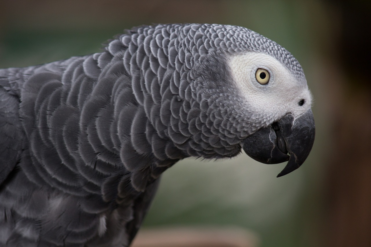 African grey parrot protected under Annex A