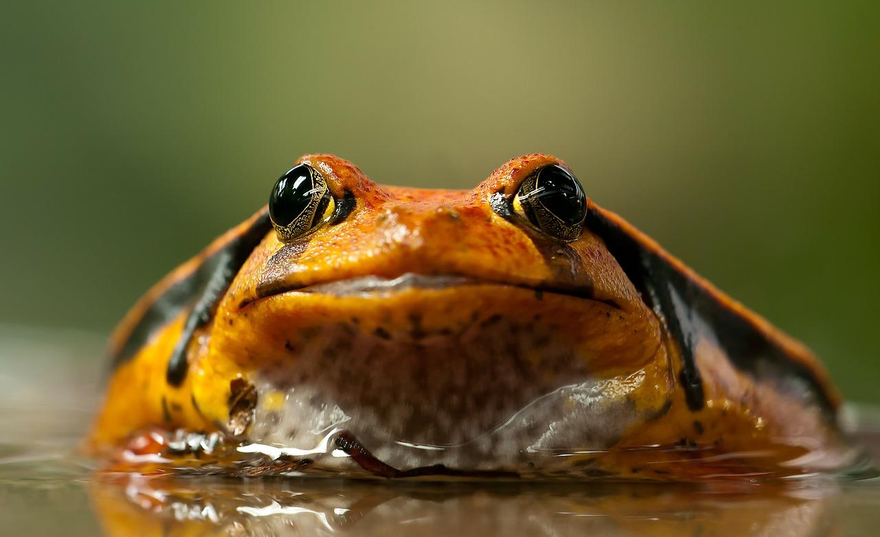 Madagascar tomato frog listed under Annex B