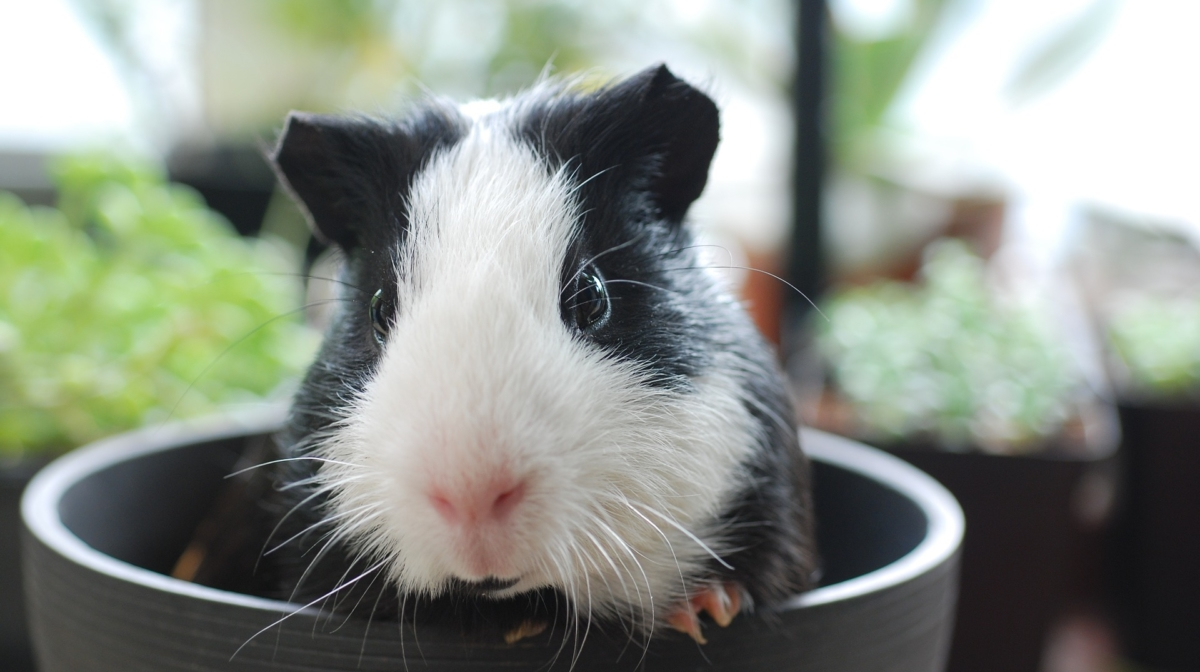 Give Your Guinea Pig the Best Living Conditions – 10 Cage Facts