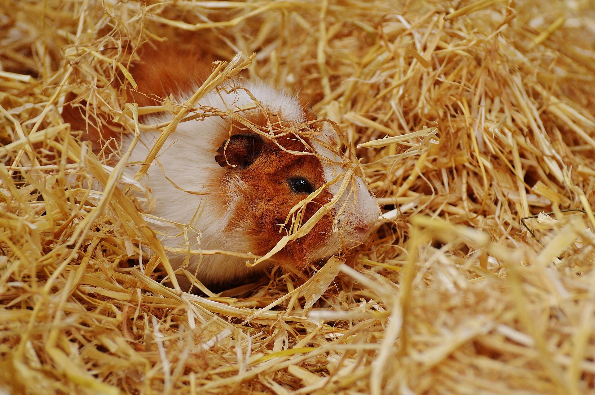 guinea pig foraging