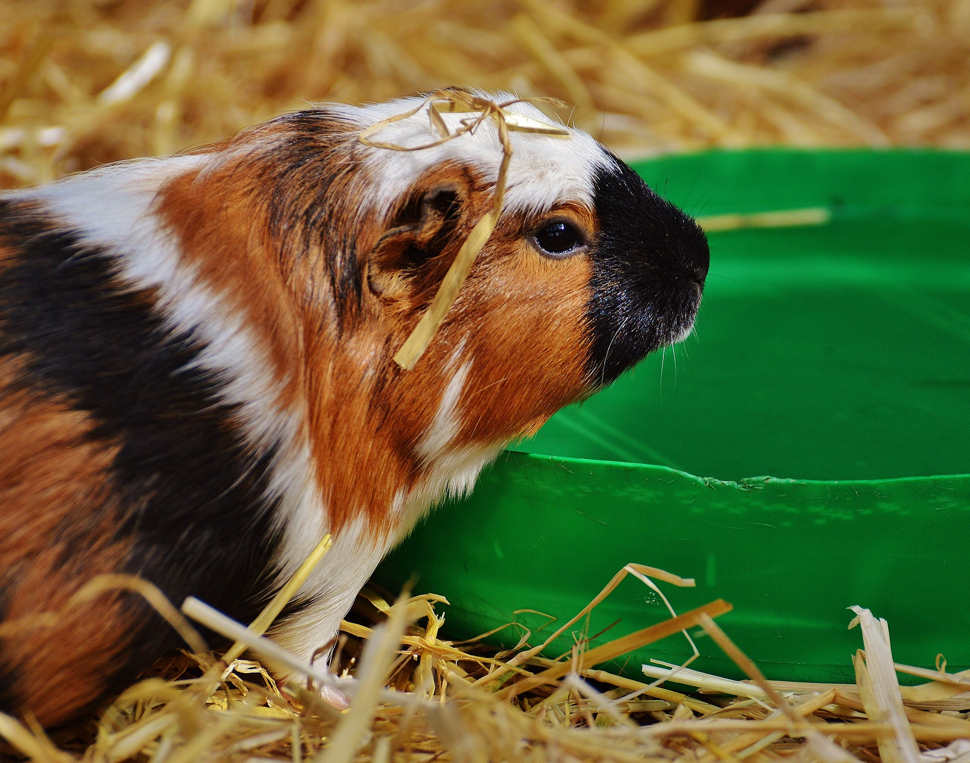 guinea pig drinking water