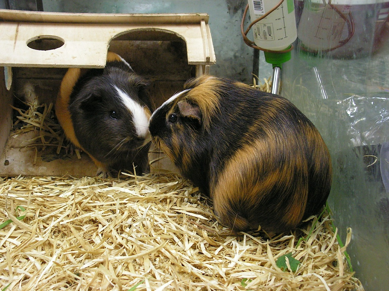 guinea pig in hide house