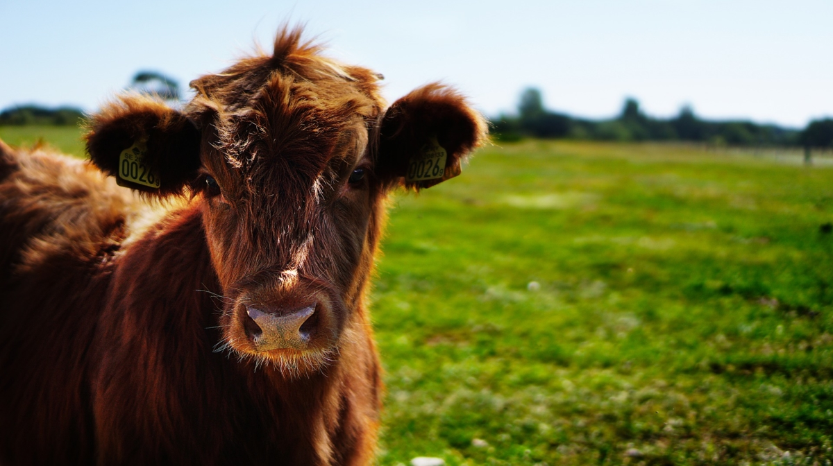 Holy Cow! 15 Incredible Cow Facts