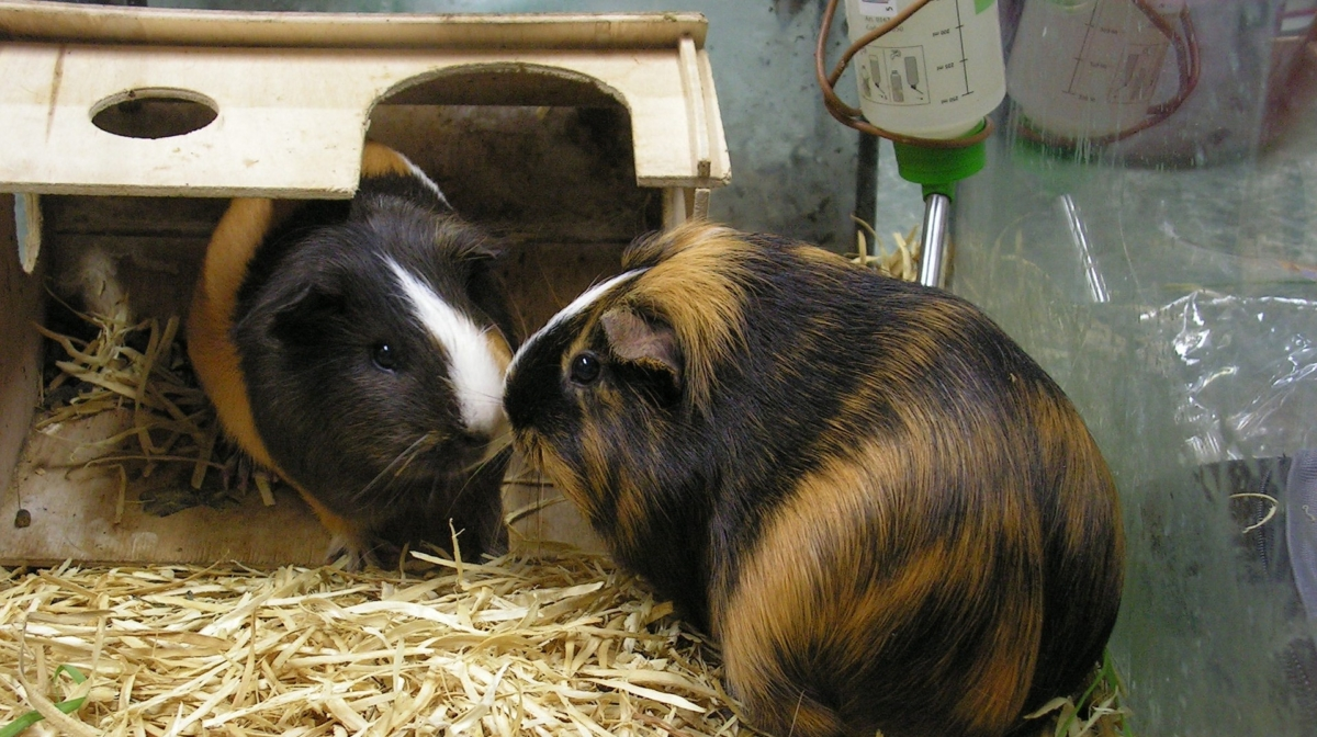 Caring For Your Guinea Pig In Winter Preloved Uk