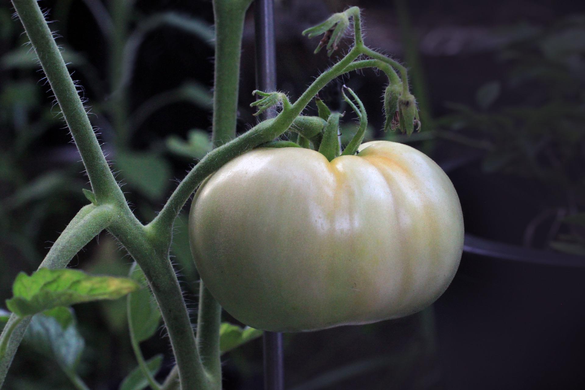 tomato-1514524_1920
