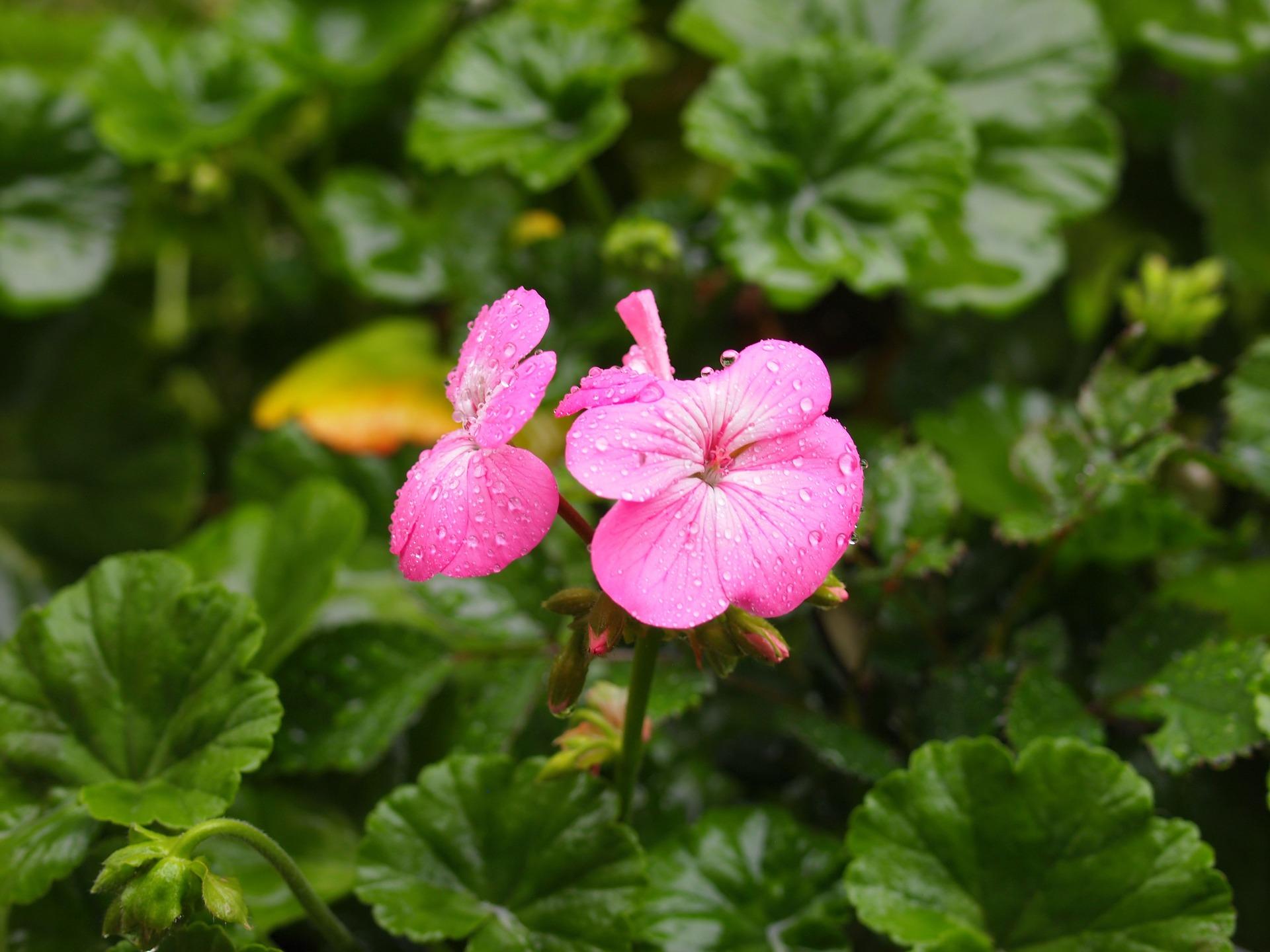 pink-1388960_1920
