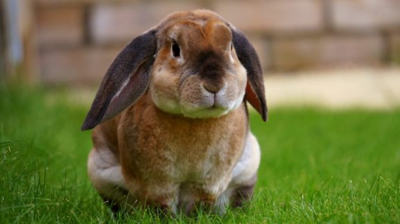 rabbit cost of neutering