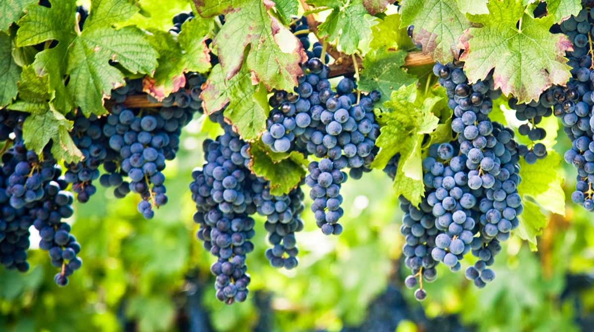 Benefits Of Grape Seed Extract For The Skin