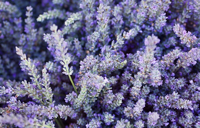 lavender botanical ingredients