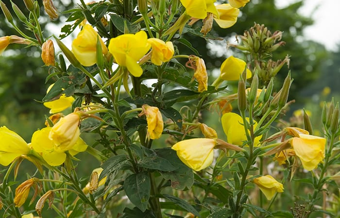evening primrose oil botanical ingredients