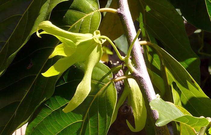 ylang ylang botanical ingredients