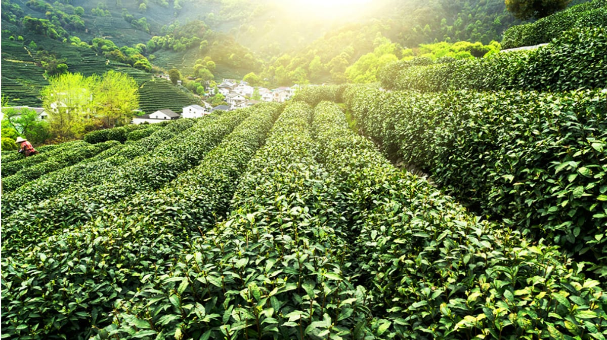 The benefits of green tea for the complexion