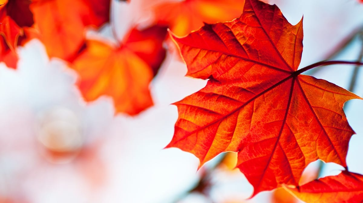 Maple Leaf Extract: the natural anti-ageing ingredient