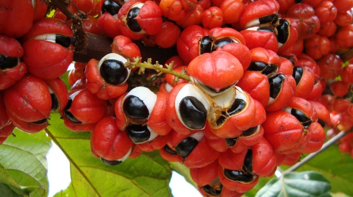 The Benefits Of Guarana