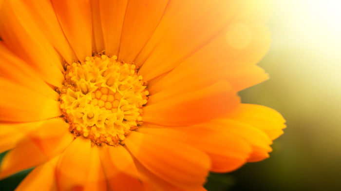 Ingredient in Focus: Calendula