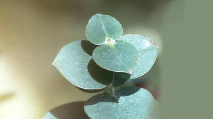 Ingredient in Focus: Eucalyptus Oil