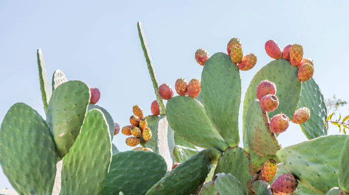 In the Spotlight: Prickly Pear Oil