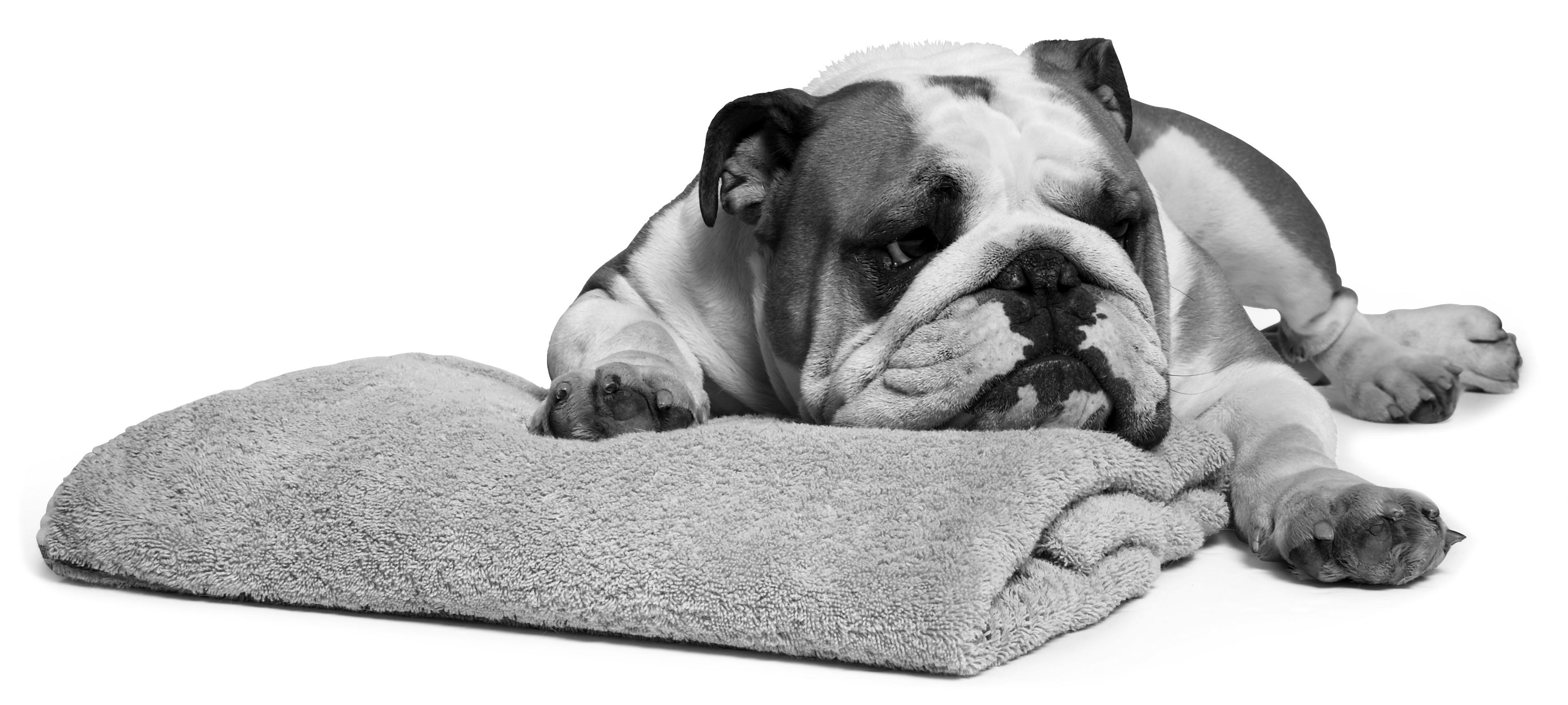 Bulldog_On_Towel_BandW_Contrast