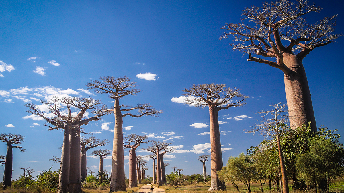 autumn break destinations madagascar baobab trees